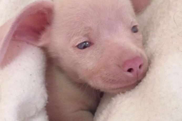 Piglet, deaf blind pink puppy