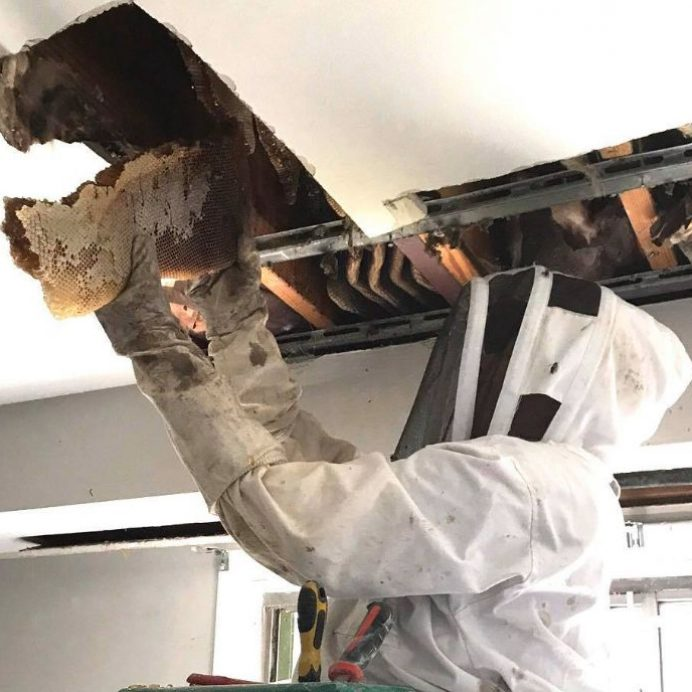 massive beehive found in ceiling