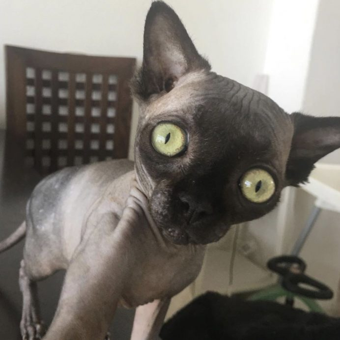 lucy the sphynx cat