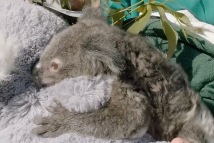 Koala Omeo San Diego Zoo