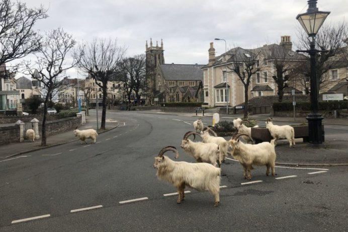 goats overthrow town