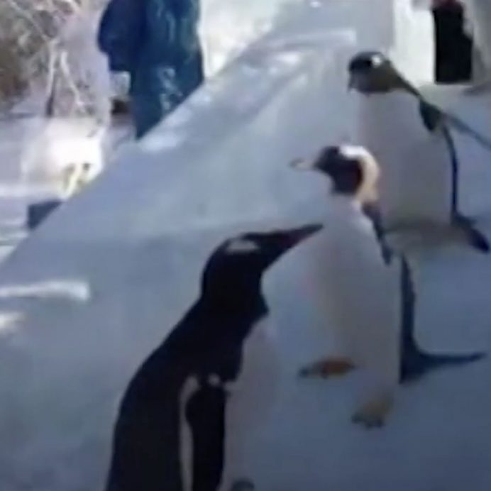 Penguins on ice slide