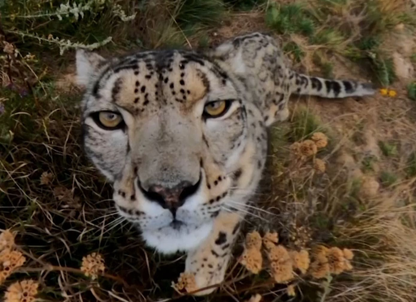 what is the population of snow leopards today
