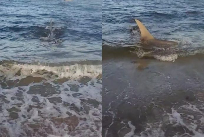 valerie shark