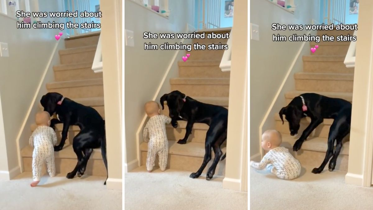Fiercely protective 'nanny dog' won't let baby climb the stairs: 'We don't deserve dogs'