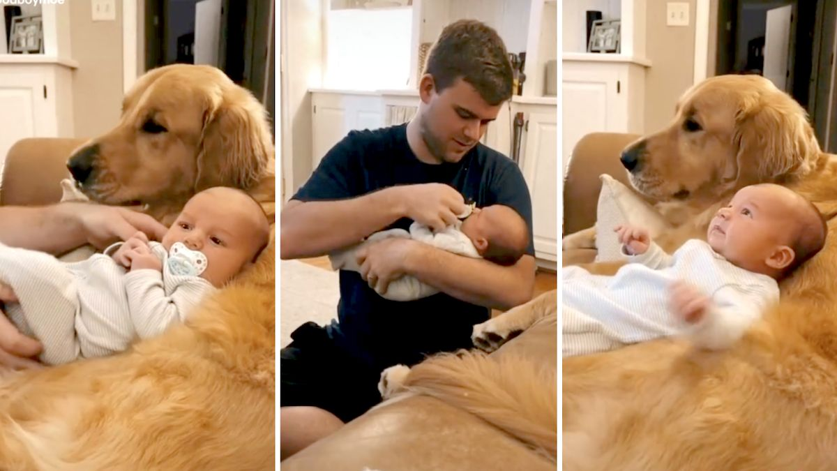 Newborn only wants to cuddle with golden retriever: 'He's a puppy now'